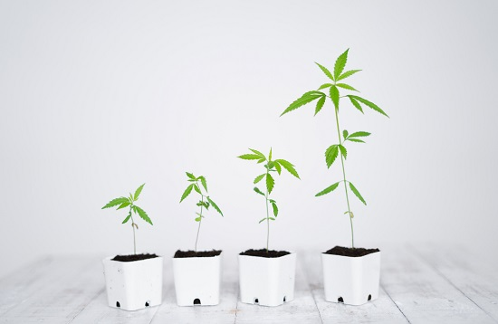 The Stages and Requirements for Growing Cannabis